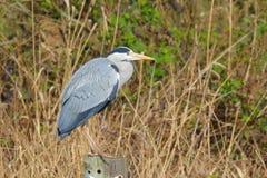 Grey Heron en su punto preferido fotos de archivo libres de regalías