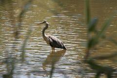 Grey Heron en una pequeña agua looing para la comida Foto de archivo libre de regalías