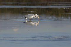 Grey Heron et x28 ; Cinerea& x29 d'Ardea ; images stock