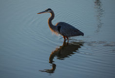 Grey Heron in evening light. Grey heron in the evening light in Palacios, Texas stock images
