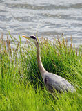 A grey heron explores a marshy shore for food Stock Photos