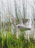 A grey heron explores a marshy shore Royalty Free Stock Photos