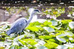 Grey heron eyes fixing pray. Grey heron walking on the water lily leafs and eyes fixing prays above the water stock photography