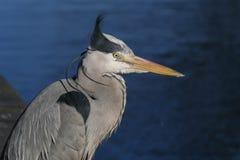 Grey Heron/för Ardea cinerea huvud, skuldror och ögondetalj med vind som blåser vapnet royaltyfria bilder