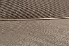 Grey Heron Feather nella fine su Immagini Stock