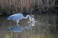 A Grey Heron Feeding Royalty Free Stock Photography