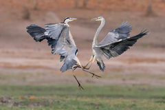 Grey Heron fighting Stock Photos