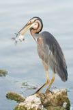 Grey Heron-Fischen Stockfotos