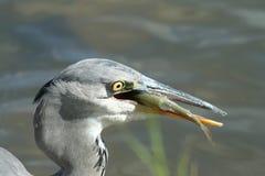 Grey heron with a fish Stock Photos