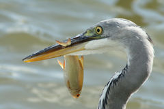 Grey heron with a fish Stock Images