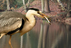 Grey Heron with Fish Stock Images