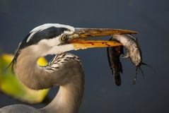 Grey heron with fish Stock Photography