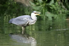 Grey heron with a fish in the beak Royalty Free Stock Photo