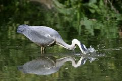Grey heron with a fish in the beak Royalty Free Stock Images