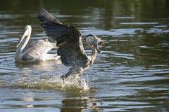 Grey heron with fish Stock Photos