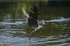 Grey heron with fish Royalty Free Stock Photo