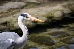 Grey Heron With Fish. Royalty Free Stock Photos