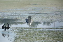 Grey Heron with fish moving away from Great Cormorant Royalty Free Stock Photos