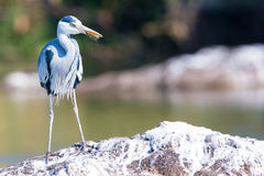 Grey heron with fish in it`s mouth Stock Photography