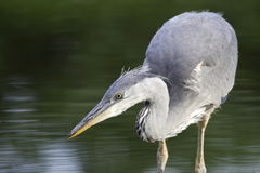 Grey Heron fishing. In the pond Royalty Free Stock Photo