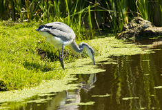 Free Grey Heron Fishing Royalty Free Stock Photo - 69444345