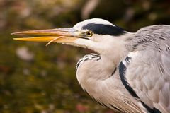 Grey heron fishing Royalty Free Stock Photos