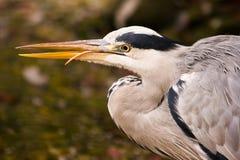 Grey heron fishing. A grey heron is fishing at the waterside Royalty Free Stock Photos
