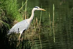 Grey heron. Fishing close to the lake Royalty Free Stock Photography