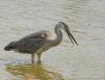 Grey Heron fishing at lagoon Royalty Free Stock Photos