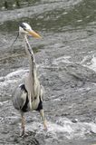 Grey heron fishing on the river stour. In dorset uk stock photography