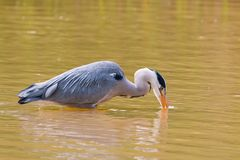 Grey heron standing in water. Grey heron fishing in a shallow lake with his bill in the water Stock Image
