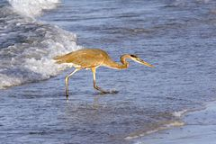 Grey Heron Fishing on Shore Stock Image