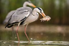 Grey heron fishing in water with another one in background. Grey heron, ardea cinerea, fishing in water with another one in background. Bird with long legs