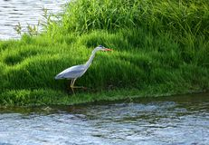 The Grey Heron flew to the hunting place. royalty free stock photo