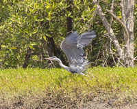 Grey Heron flies away stock image
