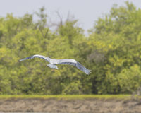 Grey Heron flies away stock images