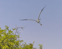 Grey Heron flies away Stock Photos