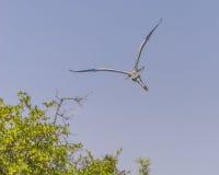 Grey Heron flies away stock photos