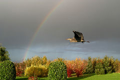 A grey heron flies up to a rainbow in autumn royalty free stock images