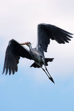 Grey Heron in flight Royalty Free Stock Photos