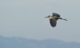 Grey Heron in flight Stock Photography