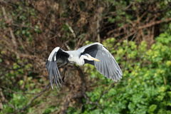 Grey heron in flight. Royalty Free Stock Photo