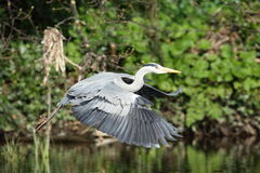Grey heron in flight. Royalty Free Stock Image