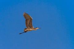 Grey heron in flight. Stock Photo