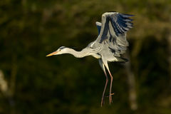 Grey heron in flight Stock Images