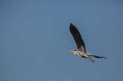 Grey Heron in flight Stock Photos