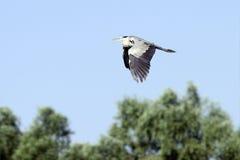 Grey heron in flight Stock Photo