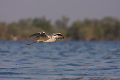 A Grey Heron in flight Royalty Free Stock Photography
