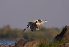 A Grey Heron in flight Royalty Free Stock Images