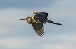 A Grey Heron in flight Stock Photo
